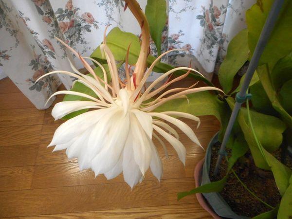 月下美人の写真 by 愛は花。 11月29日 月下美人が、朝になっても咲いていました。