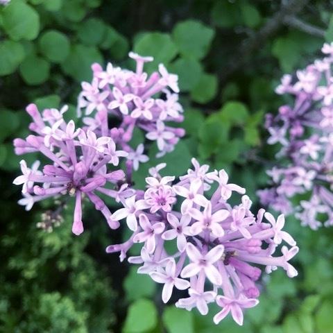 ライラックの写真 by かんぜまる ハッピーライラックは5枚の花弁、花弁が7枚のライラ