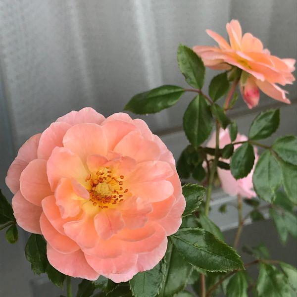 ドリフトローズのアプリコット。 パラパラと咲いている。