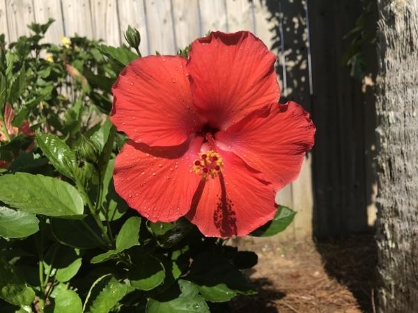 暑い中毎日よく咲いてくれてます。