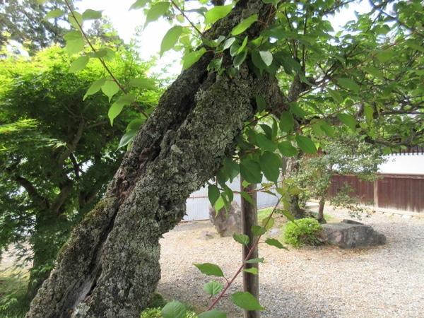 梅の古木にも新芽が~~ 綺麗です。