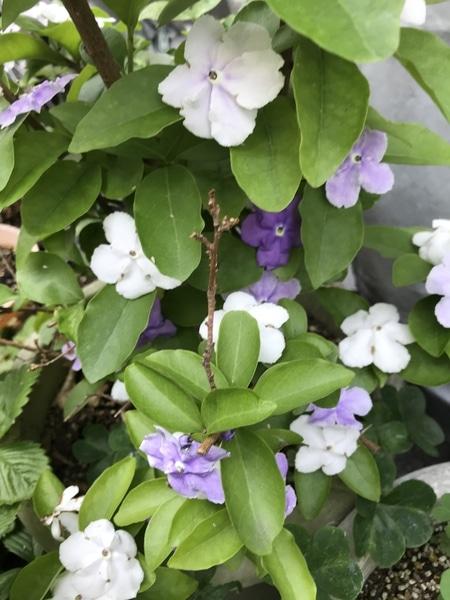 ニオイバンマツリの写真 by AkioIijima 枯れたと思った匂い蕃茉莉。