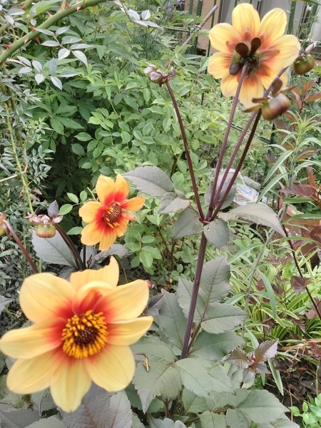 銅葉のダリアが咲きました ル・クロッコ (フランス)