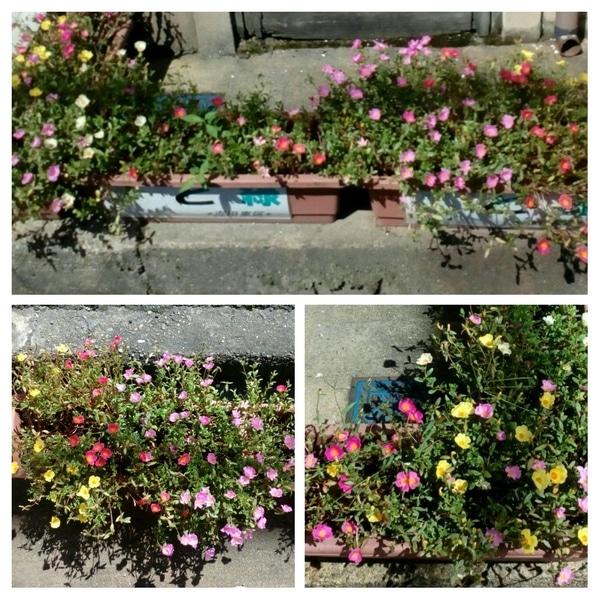 ポーチュラカの写真 by 花の山P 通りすがりの道路沿いに咲いていた『ポーチュラカ』😄