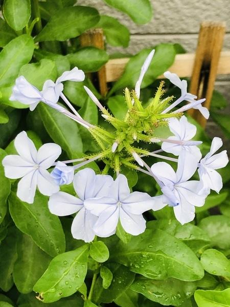 7/12 ルリマツリ・プルンバゴ クラスター状に花が咲きます‼︎  # Plumbago auriculata