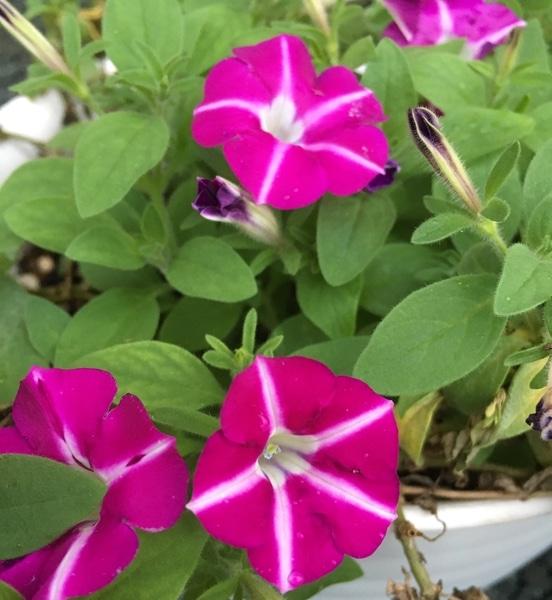 【サフィニア】 花チャレのお花、その後です。 真夏の間、不安な姿をしていましたが、