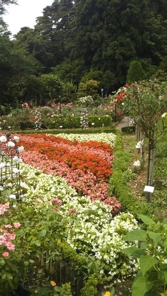 花巻市の、花巻温泉バラ園の様子です🌹✨