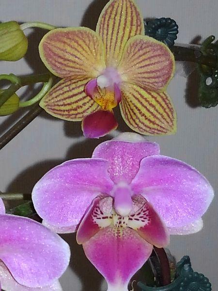 ミディ胡蝶蘭   (二種類)  ・今はこの二色の胡蝶蘭が     花を咲かせています☘️   リ