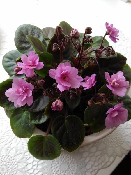 セントポーリアの写真 by ネーブル セントポーリア  薄いピンクから濃いピンクに変わ