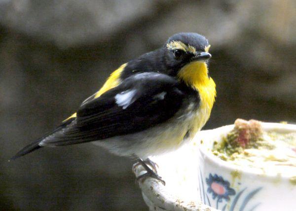 上野動物園で       日本の鳥より キビタキ