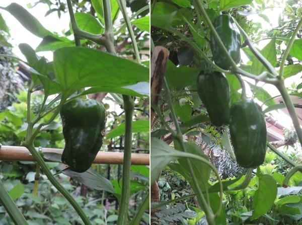 2⃣📷やっと日差しを浴びて育つ様になったピーマンの実...大きく広がっていたミニトマト