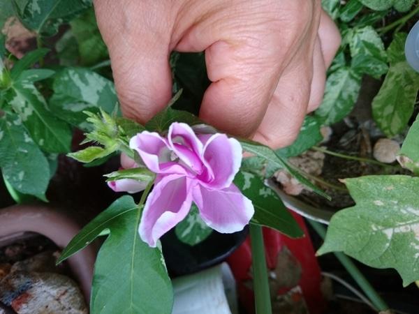 アサガオの写真 - みんなの趣味の園芸 id:947538