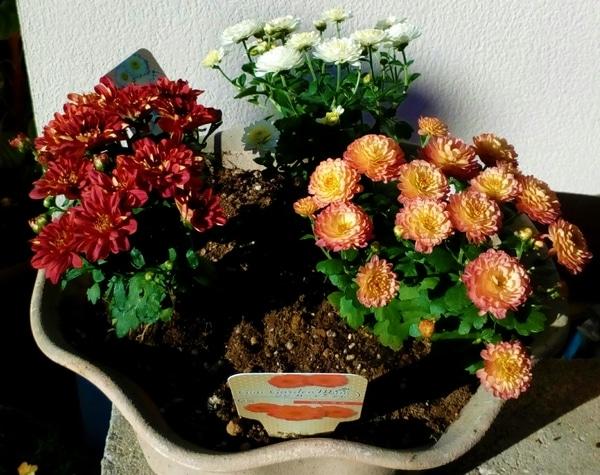 2色の『ジジガーデンマム』と赤の『スプレーマム』です😊  爽やかな秋の太陽をいっぱ