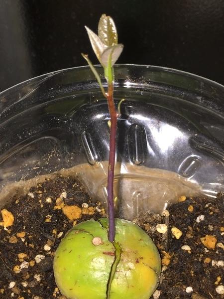 種(1) 夜は室内へ 葉っぱは閉じ気味 2019/10/10撮影