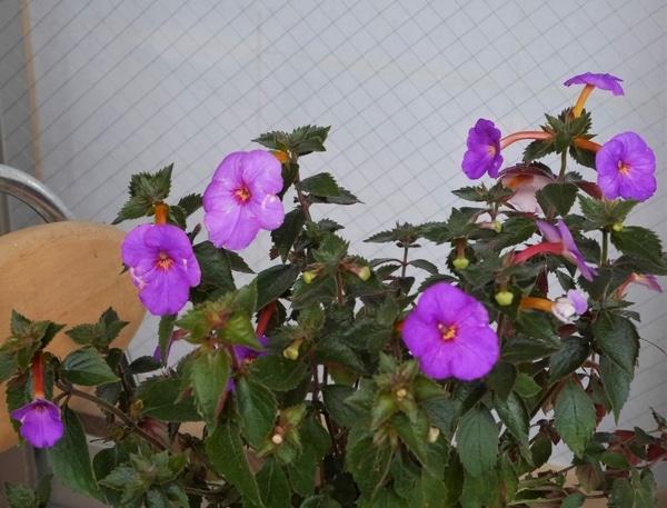 アキメネスの写真 by おれんじぺこ アキメネス(イワタバコ科)  たくさん咲いてきま