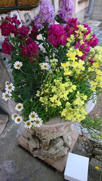 ミックスのストック リナリアの手前にロべリア 長い間咲いてくれていたのでストックを
