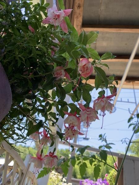 エンジェルスイヤリング 花の形がイヤリングみたいでカワ(・∀・)イイ!! お花達 ロべリアの