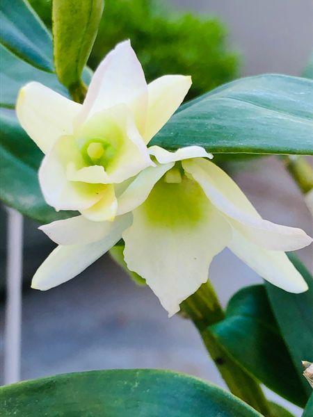 Den.エンジェルベイビー・グリーン愛  # Dendrobium