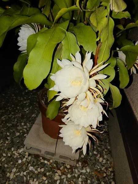 月下美人の写真 by crytyan 月下美人、去年咲いたものです。 別名、女郎花とも言うそ