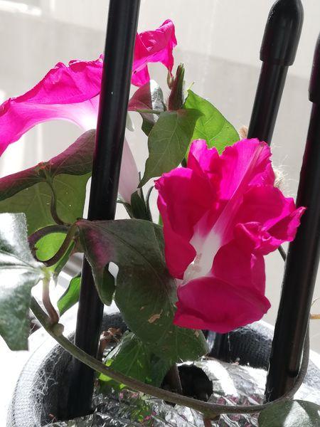 2/24 学校朝顔 昨日開花の朝顔(画像左上)に続いて、もう1つ咲きそうです。