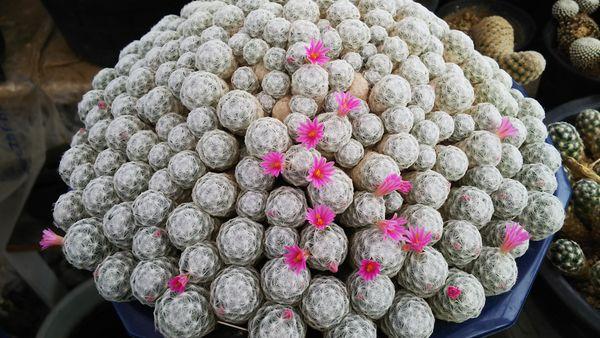 マミ 姫春星 比較的頭の揃った株。拡がりは約25cm。 満開になるのは年明けに。