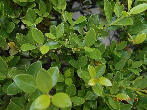 イヌツゲの写真 by 群馬の愛菜家 <ツゲ>よく見ないと、咲いて居るのが分りません。