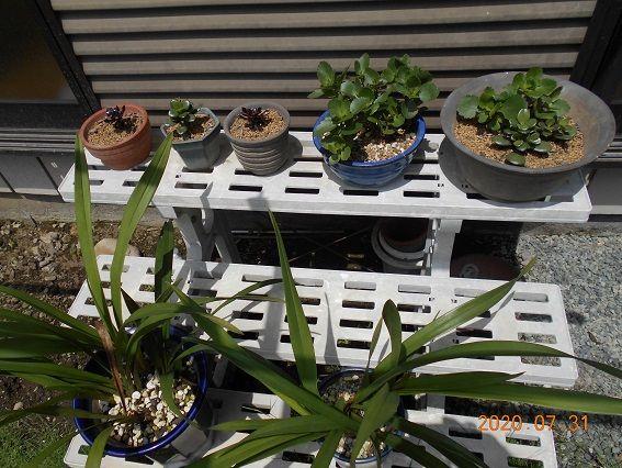 挿し芽の<多肉植物>大きくなりました。 久しぶりの日光浴です。