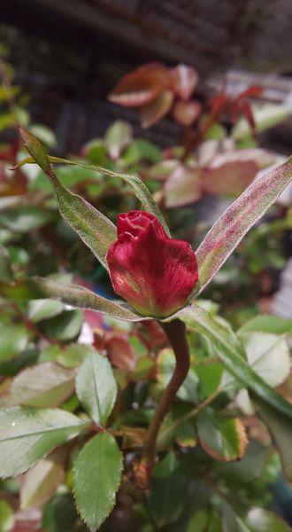 「マチルダ」昨秋お迎えした苗、初花です❤️ 開花が待ち遠しい😌