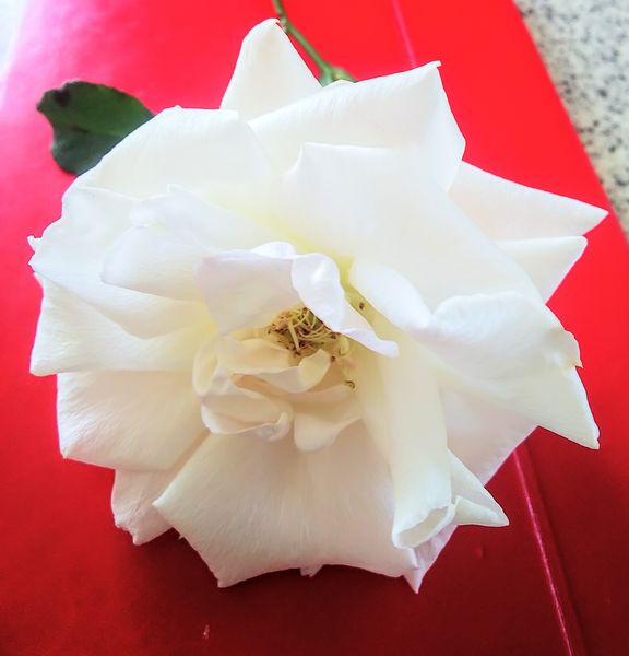 最後の冬バラ、ブライダルホワイト 剪定忘れの一枝