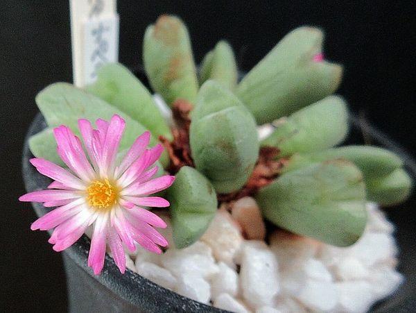 コノフィツム オペラローズ(Conophytum 'Opera Rose')、一輪だけ咲きました。もう一
