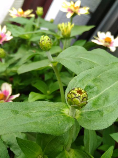 *ジニア プロフュージョン チェリーバイカラー  初めて種蒔きから🎶 蕾もお気に入り😄💕