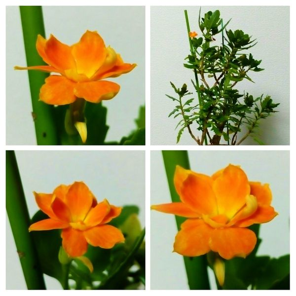 1輪だけですが『八重咲きカランコエ❛ガランディーバ❜』が開花していました😄8月9日