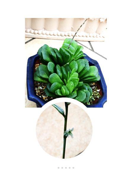ハオルチア グリーン玉扇?  お花が咲きました