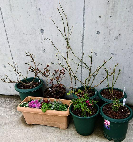 駐車場のバラたち。 ボレロ、ウィリアムモリス、オリビアローズオースチン、オルフェ