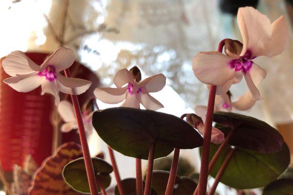 コウム ピューターリーフ 白花  下から撮影 口元の模様が可愛い💕