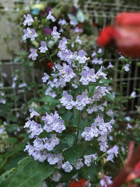 カラミンサの写真 by あずきもち 小花沢山咲いてます 株元からは新芽🌱が出ています