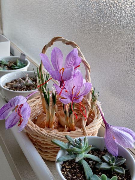サフランがきれいに咲きました。 カゴに球根を入れただけです!  この後、花が咲き終