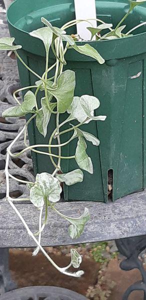 ダイコンドラ(ディコンドラ)の写真 by クール らんちゃん 零れっこのシルバーリーフ