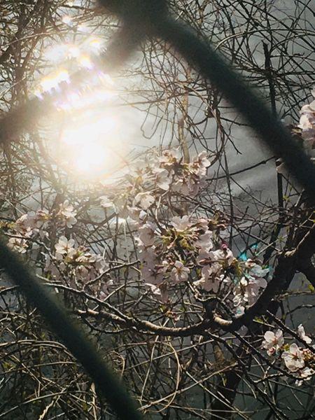 桜ビーム🌸