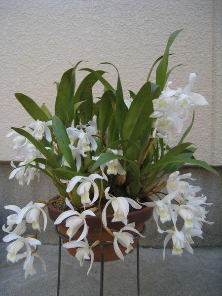 セロジネ インターメディア 7回目の開花で一番多くのお花が咲きました。