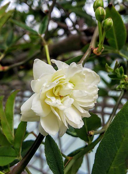 モッコウバラ一番花
