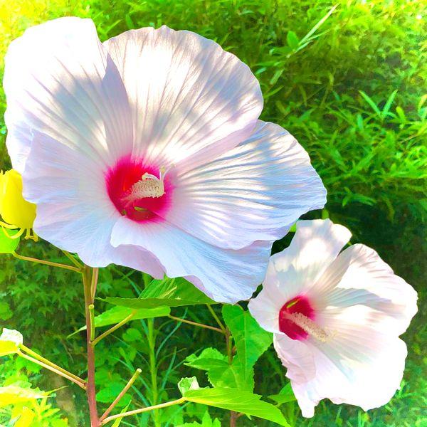 タイタンビスカス咲いた〜😃 透けた陽射しが輝いてます✨