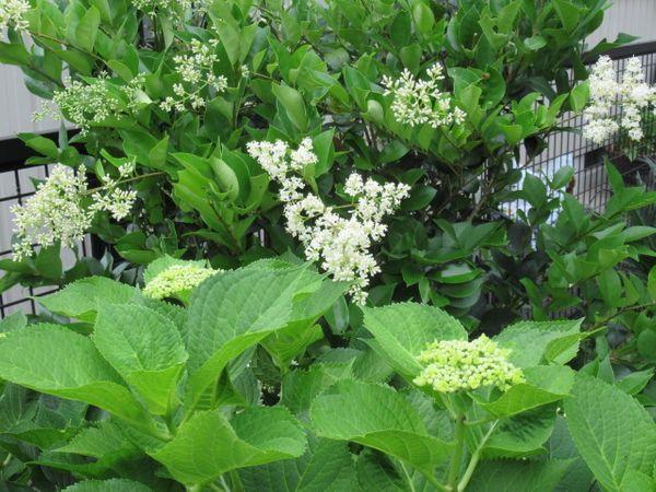 ネズミモチ(リガストラム)の仲間の写真 by らぶち アジサイが咲くのを待つ間 ネズミ