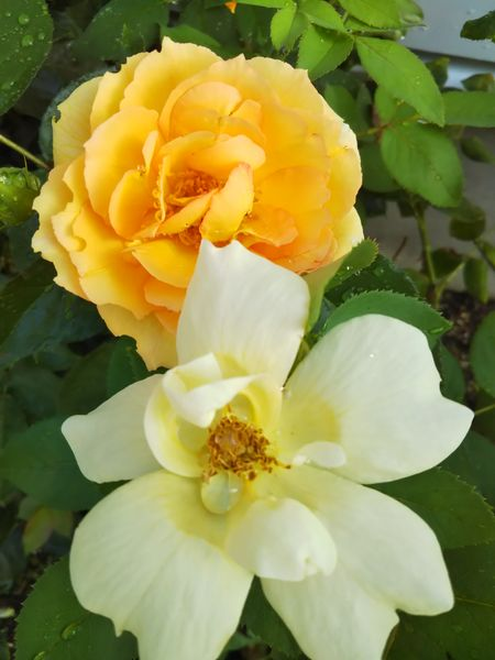 ユリイカとサニーノックアウト 黄色系 黄バラ のアルバム みんなの趣味の園芸 Id
