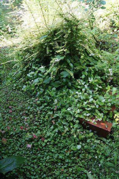 ダイコンドラ(ディコンドラ)の写真 by 森の妖精 グランドカバーに・・と植えたディ