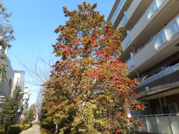 2021.1 お散歩コースの団地にある大木。 赤い実がなっていて、ツリーみたいです。南天