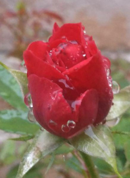 今年の母の日に娘から貰った ミニバラ🌹  切り戻してからの、初めての開花です🎵