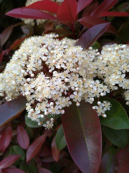 カナメモチの写真 by エブエブ レッドロビンの花!塊になって咲く為、遠くからでも確