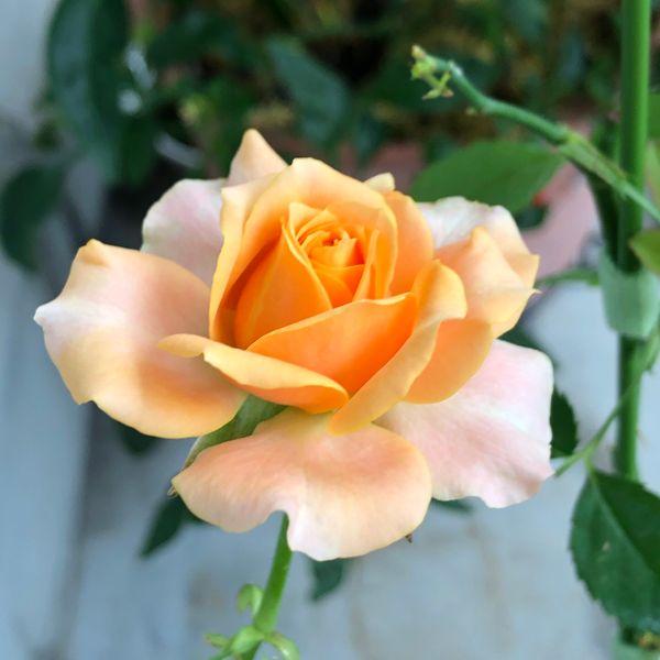 ミニ薔薇もだいぶ開いて来ました💕