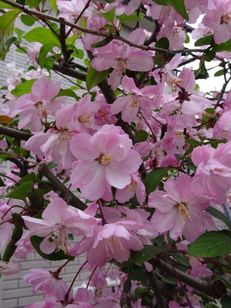 ハナカイドウ その2. 今年は近隣の桜を見に行けなかったので、庭の ハナカイドウでな